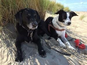Beach Dogs Marram Grass Coast Dunes Nature Sand
